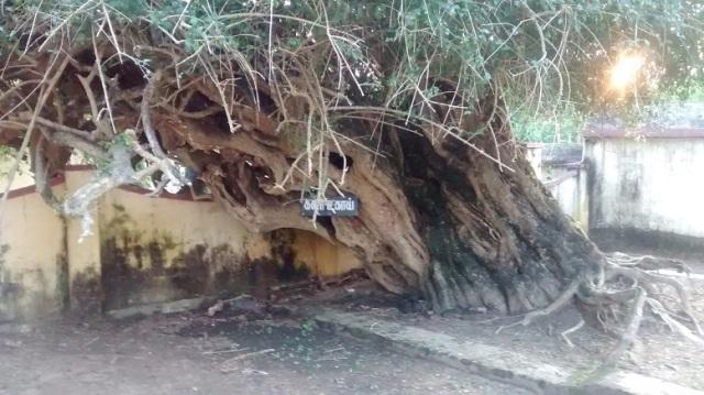 Tiruvamur - Navukkarasar birth place - Kalar ukai tree backside